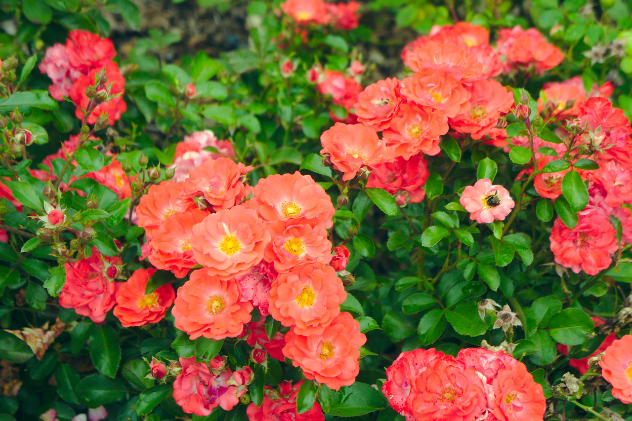 Rosa Coral Drift 1