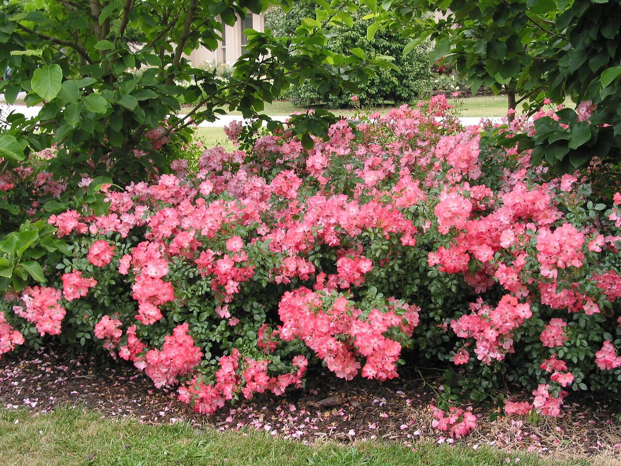 Flower Carpet Coral Rose 2