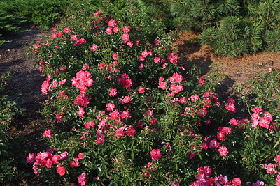 Rose - FC Pink Supreme 2