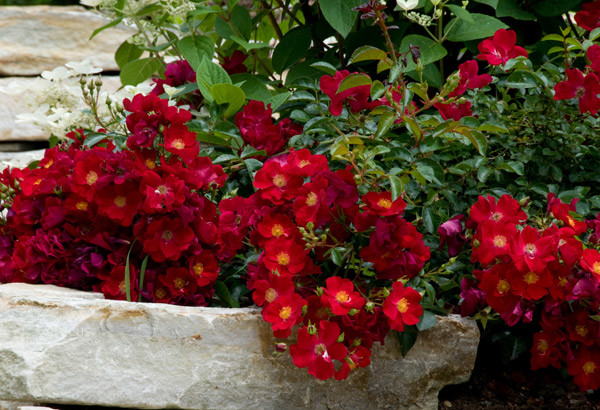 Rose - Flower Carpet Red 2