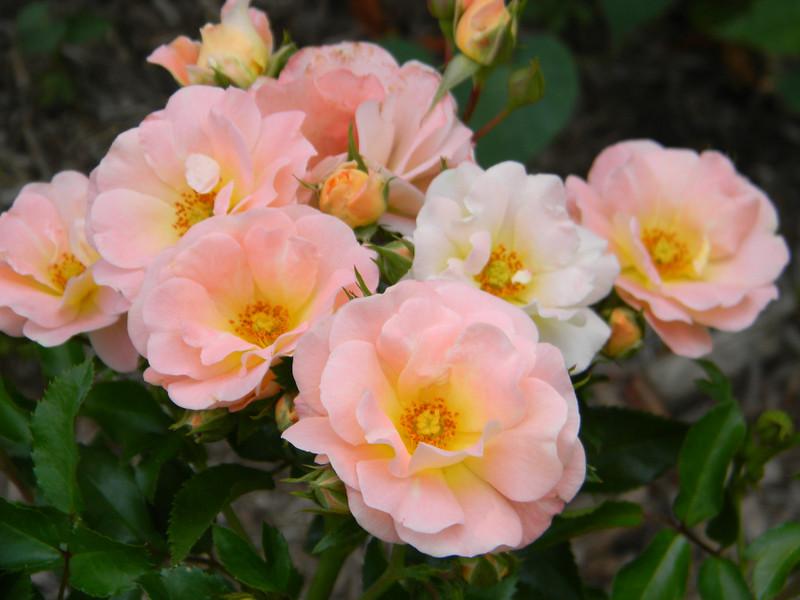 Rosa Drift Peach