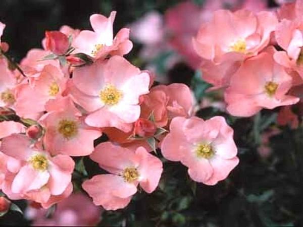Flower Carpet Coral Rose