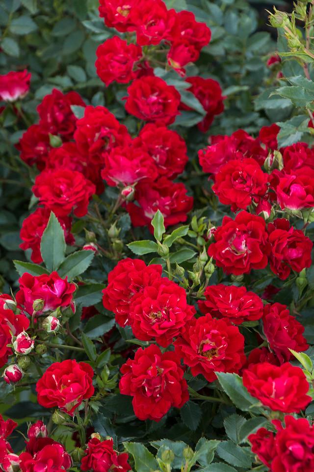 Rose Red Drift 1