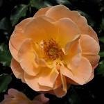 Rose - FC Amber