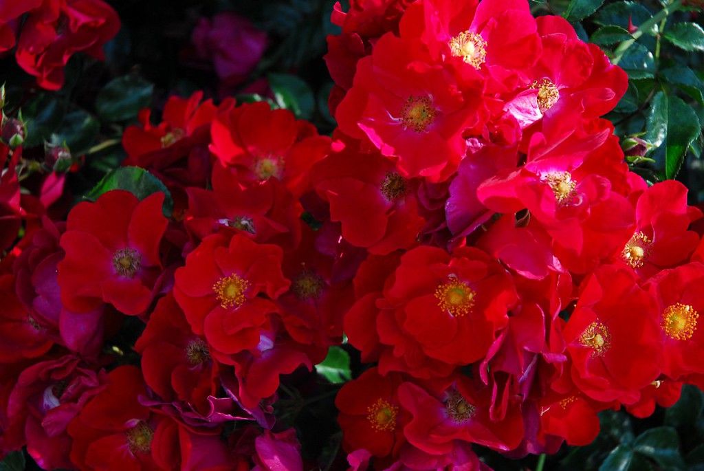 Rose - Flower Carpet Red