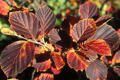 Witchhazel - Autumn Embers fall color 1