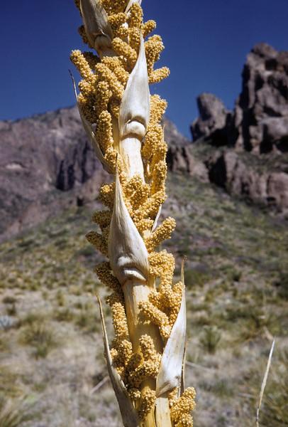 Sotol (Dasylirion leiophyllum) Big Bend National Park, TX, 1958