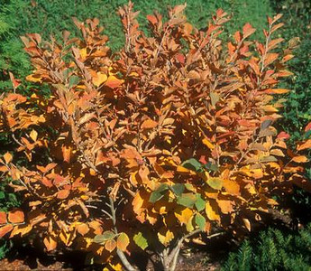 Witchhazel - Autumn Embers fall color 2
