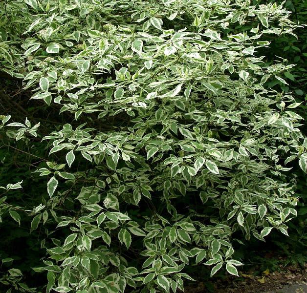 Dogwood, variegated 2