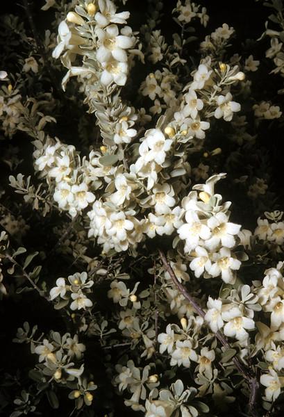 Cenzia, Silverleaf  (Leucophyllum frutescens) Big Bend National Park, TX, 1958
