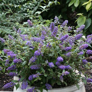 Buddleia Lo & Behold Blue Chip