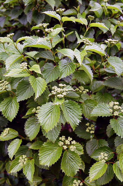 Viburnum dentatum Autumn Jazz 2