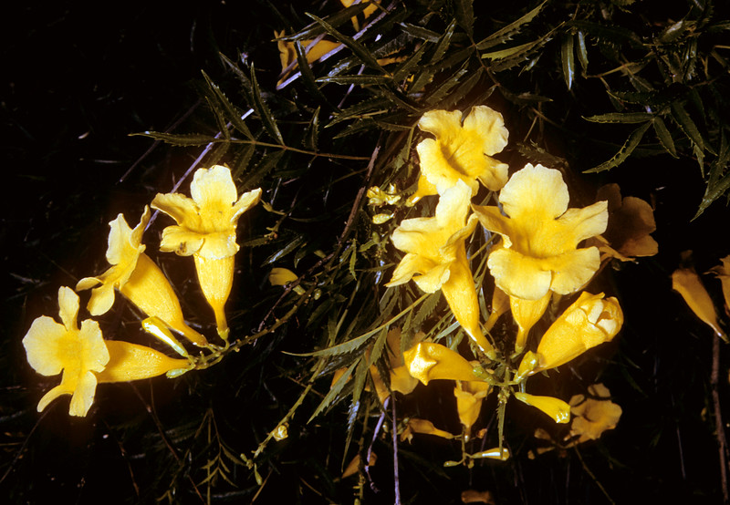 Yellow Trumpetbush (Tecoma stans) Big Bend National Park, TX, 1958