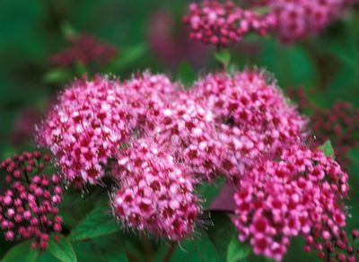 Spirea - Royal Prince 2