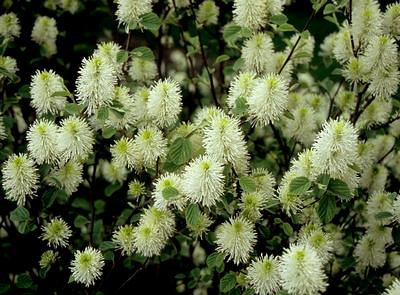 Fothergilla Mt  Airy 1  Airy 1