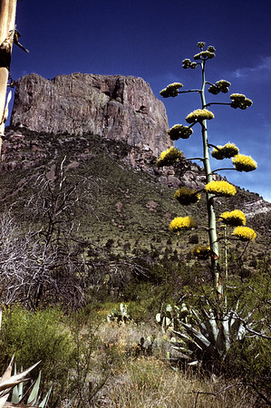 Century Plant (Agave scabra) Big Bend National Park, TX, 1959