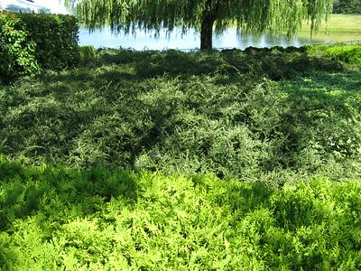 Cotoneaster Hessei 1