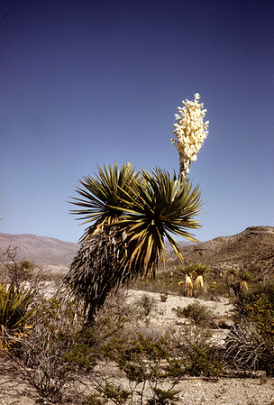 Giant Dagger (Yucca faxoniana) Big Bend National Park, TX, 1958