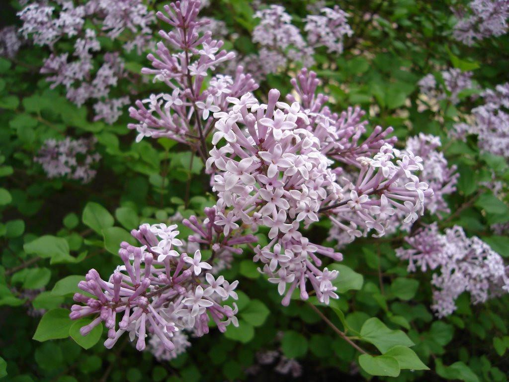 Dwarf Korean Lilac 1