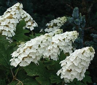 Hydrangea - Snow Queen Oakleaf