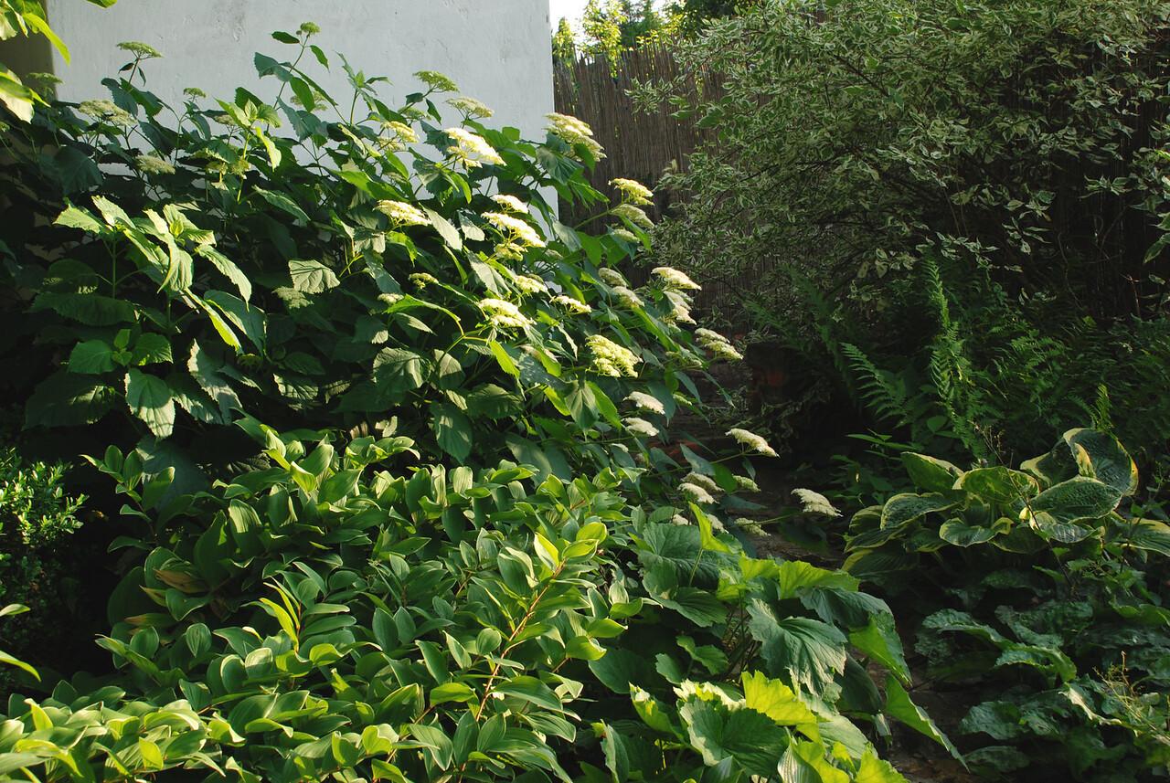 Hydrangea - White Dome 4