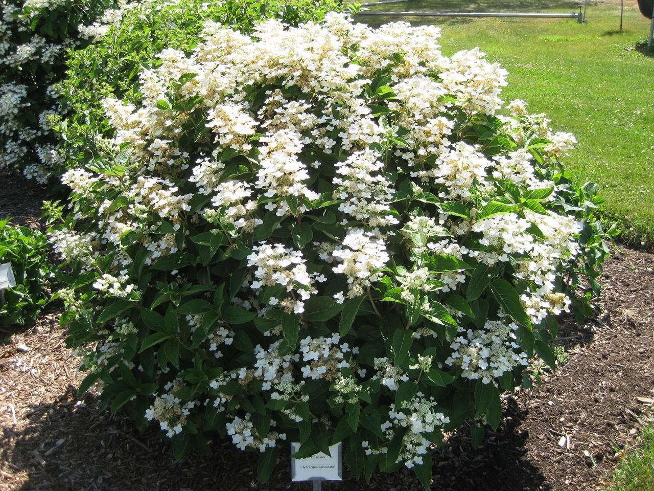 Hydrangea paniculata 'Dharuma' (WMAGS)