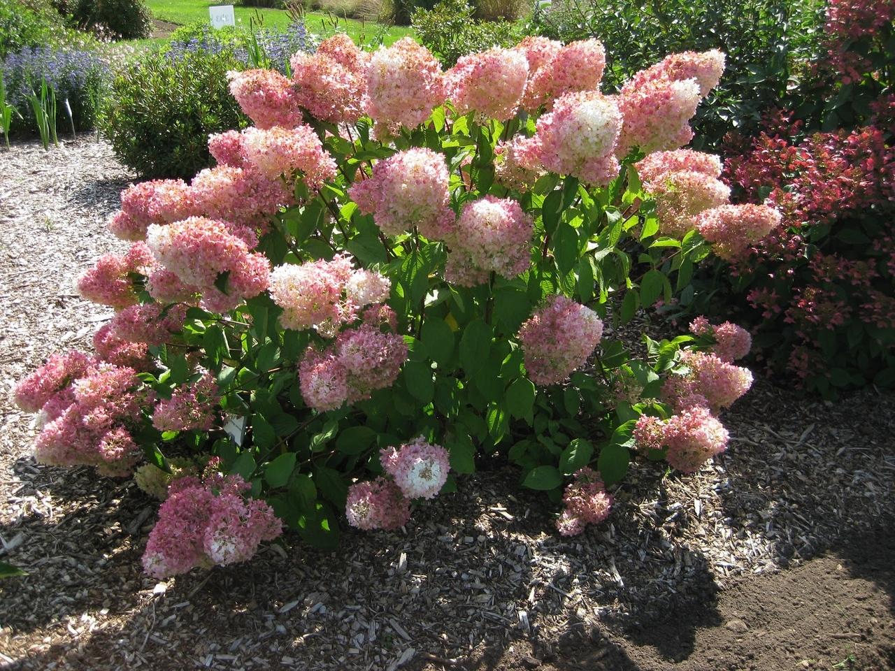Hydrangea paniculata 'Little Lamb' 6