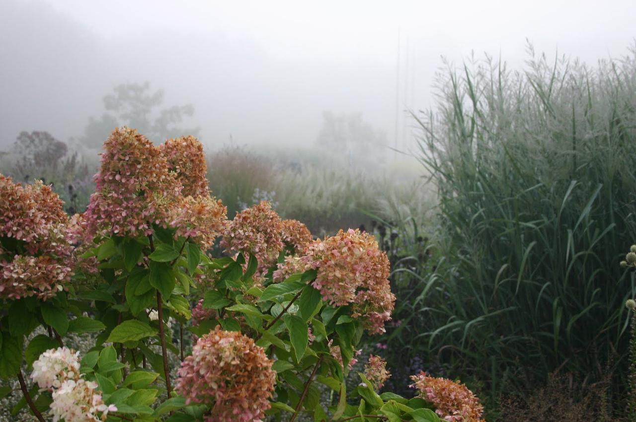 Hydrangea - Limelight 3