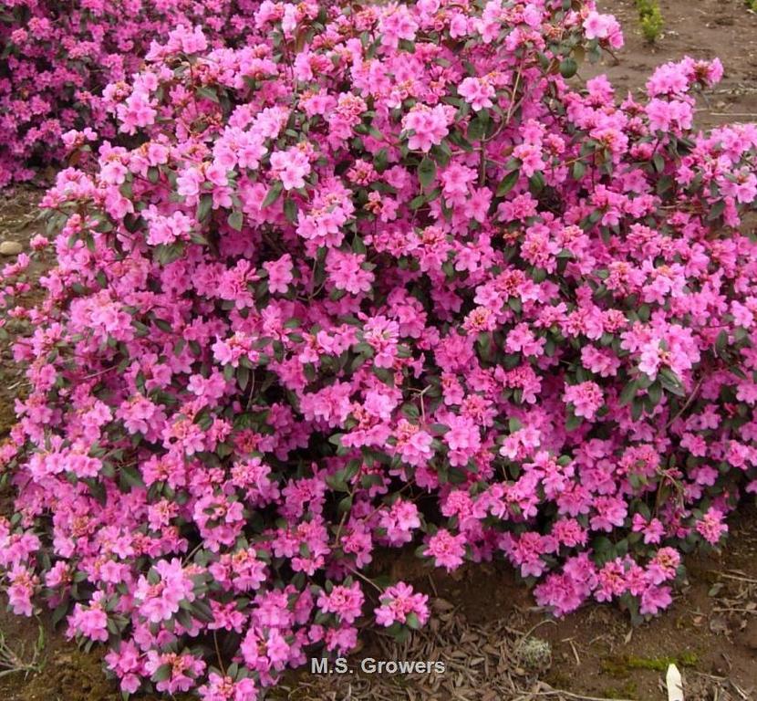 Rhododendron, Aglo 2