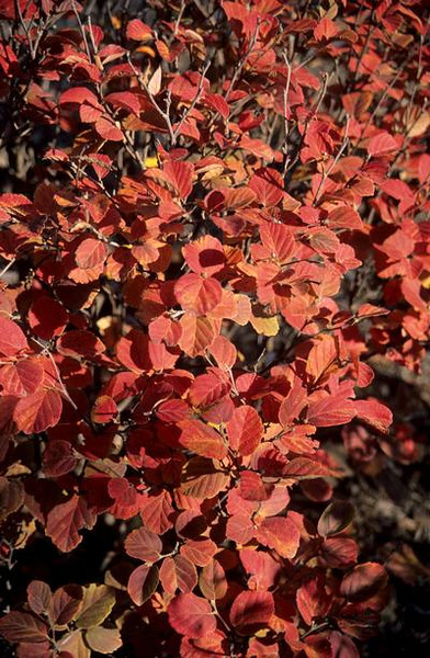 Fothergilla 'Windy City' fall 1