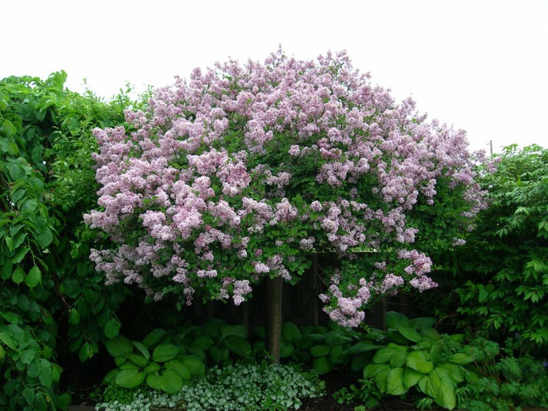 Dwarf Korean Lilac grafted standard 2