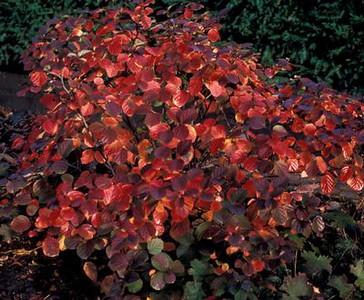 Fothergilla - Red Monarch (fall color) 3