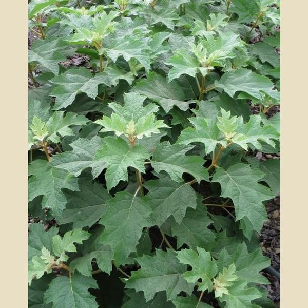 Hydrangea quercifolia Pee Wee 3