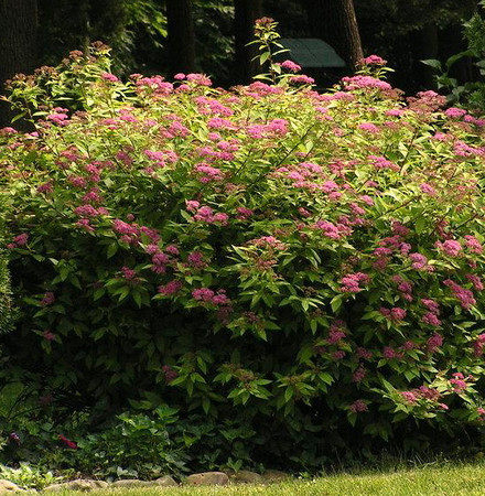 Spirea, Anthony