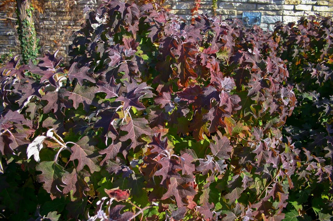 Hydrangea quercifolia Peewee fall 1