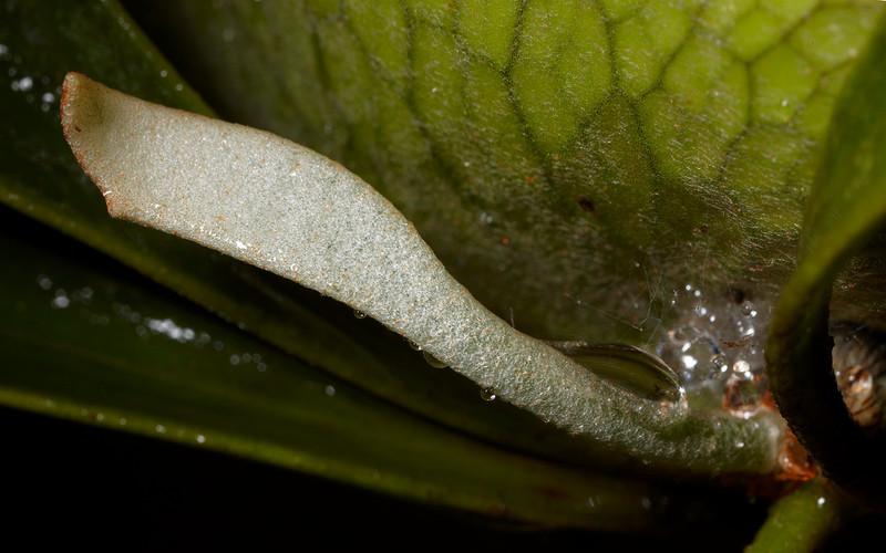 Elkhorn fern (Platycerium bifurcatum).  New frond.  This is an Australian native.