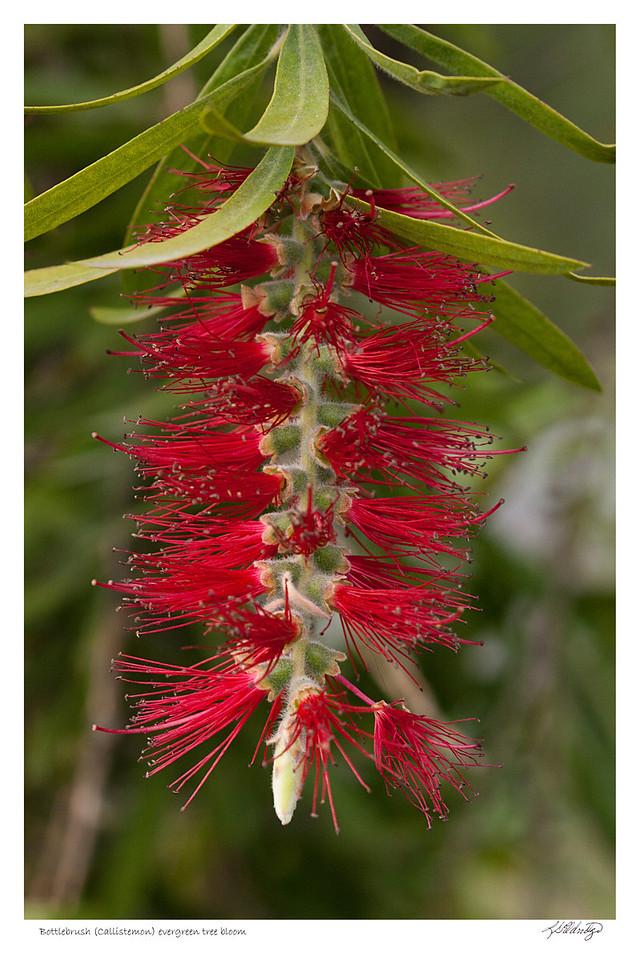 Callistemon (Bottlebrush) Evergreen Tree found in Quito Ecuador
