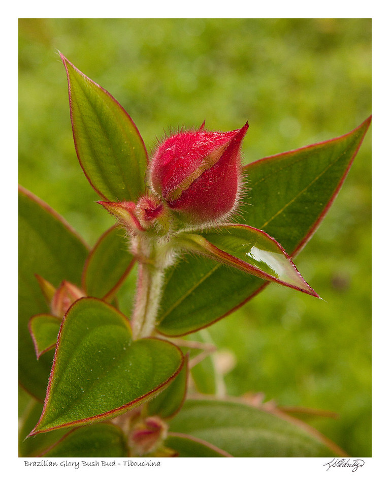 Brazilian Glory Bush (Tibouchina Semidecandra) found in Ecuador