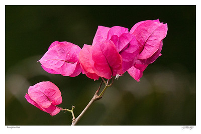 Bougainvillea found in Ecuador