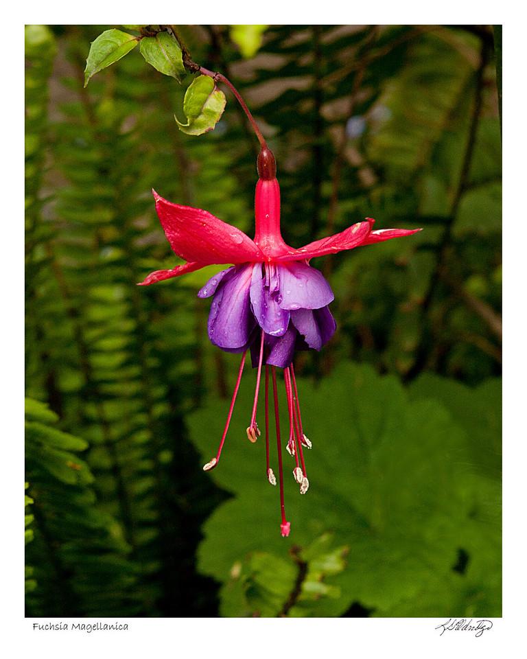 Fuchsia Magellanica found in Ecuador