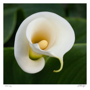 Calla Lily found in Ecuador