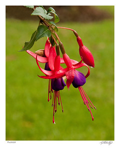 Fuchsia Magellanica found in Ecuador