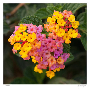 Lantana found in Ecuador