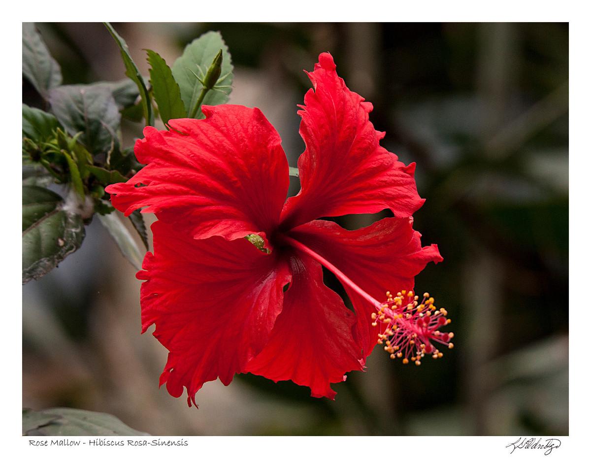 Rose Mallow (Hibiscus Rosa-sinensis) found in Ecuador
