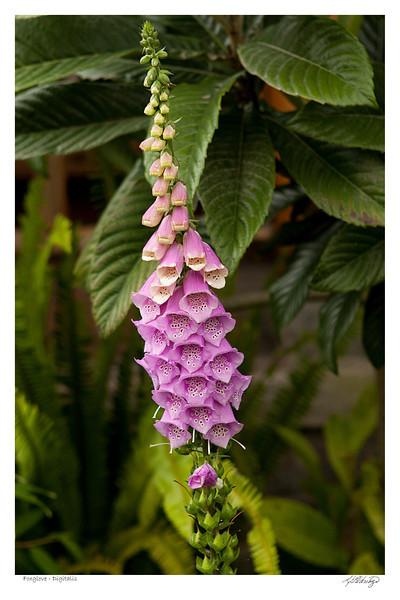 Foxglove (Digitalis) found in Ecuador