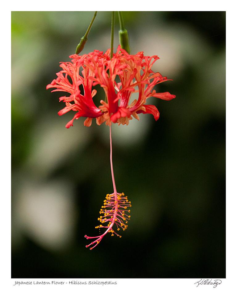 Japanese Lantern Flower (Hibiscus Schizopetalus) found in Ecuador