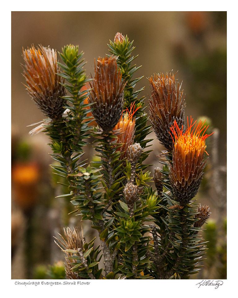 Chuquiraga Evergreen Shrub Flower found in Ecuador