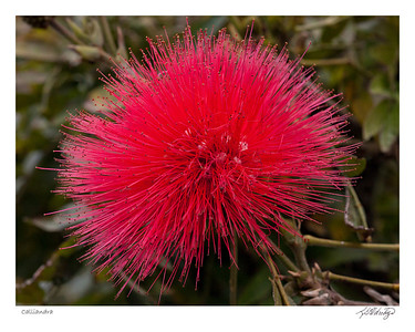 Calliandra found in Ecuador