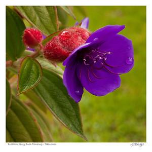 Brazilian Glory Bush (Tibouchina Semidecandra) found in Ecuador