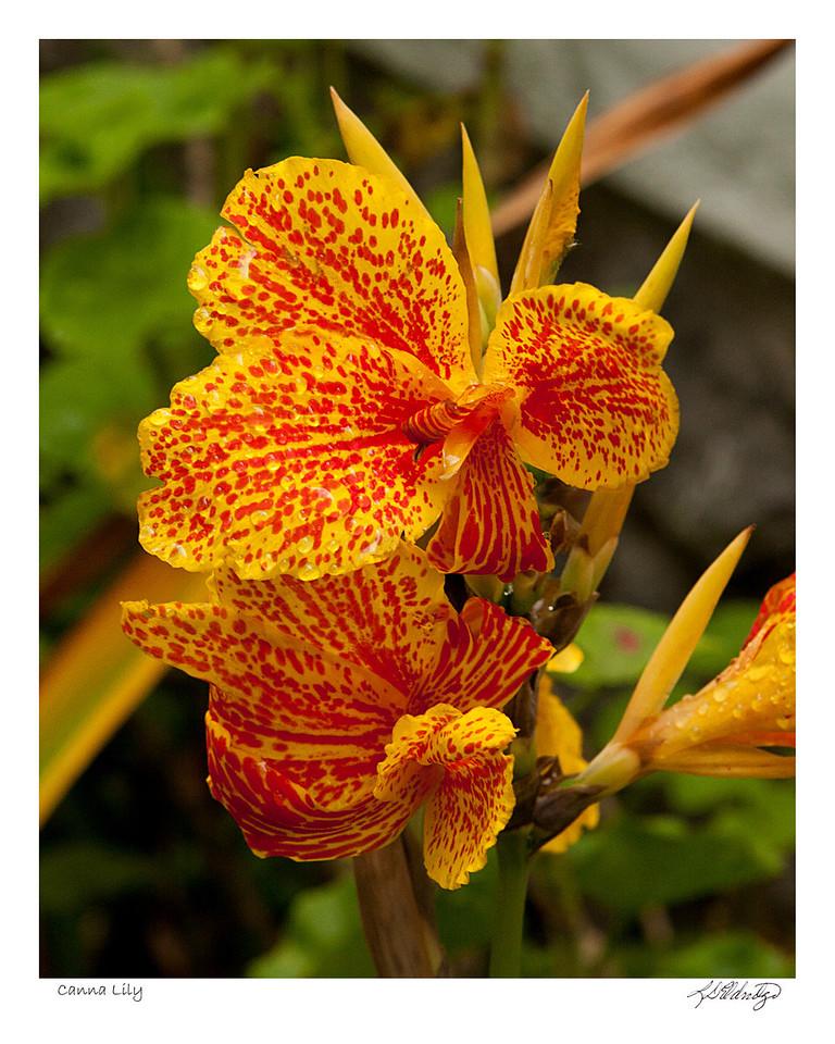 Canna Lily found in Ecuador